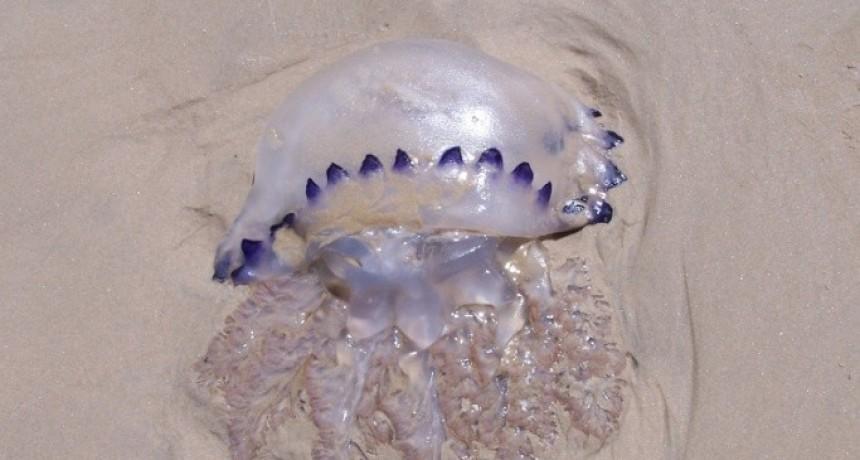 Pica pica: nos asomamos al mundo de las medusas