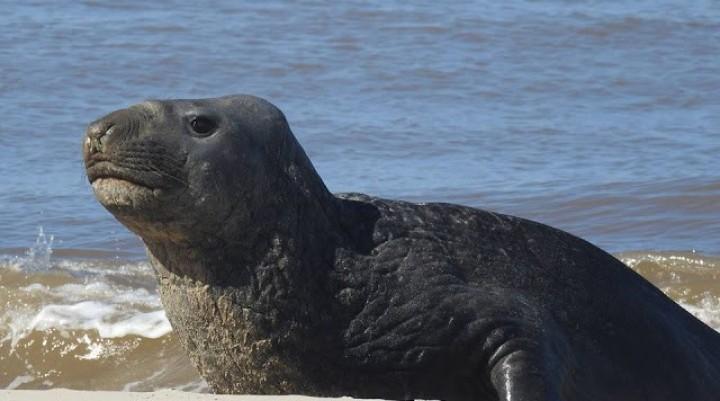 Fred en La Paloma: el viaje de un elefante marino