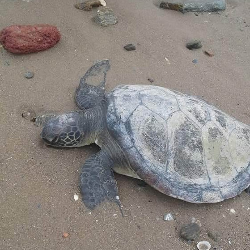 Tortugas varadas en la playa: ¡podemos salvarlas!