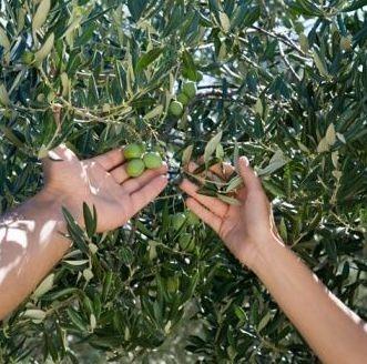 Oferta laboral para recolección de olivos