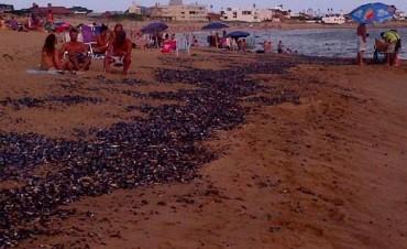 Mejillones muertos son la causa del mal olor en las playas