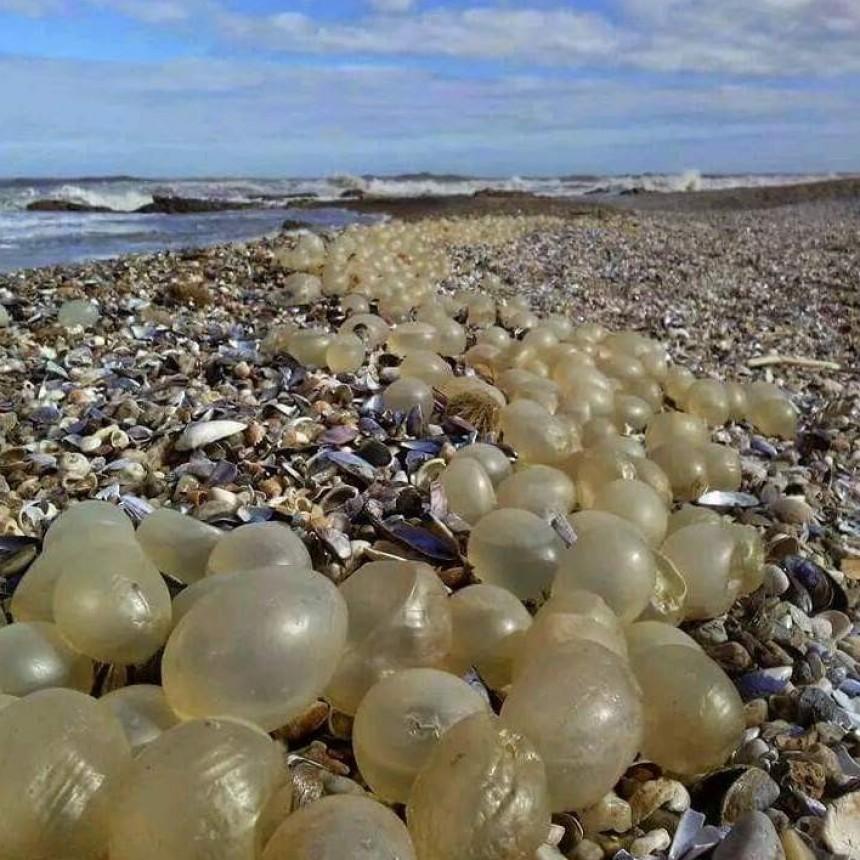 Huevos transparentes en la orilla... ¿De qué son?