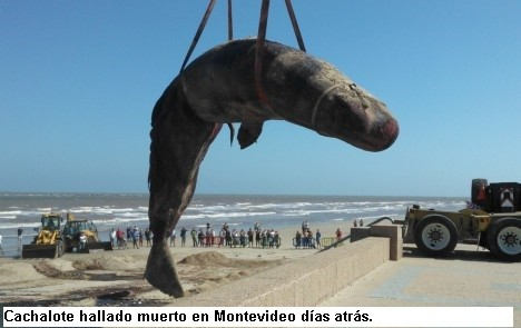 Apareció una ballena muerta en las costas de Rocha y responsabilizan a ANCAP por las exploraciones que realiza en el océano