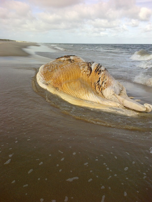 Apareció otra ballena muerta en Rocha