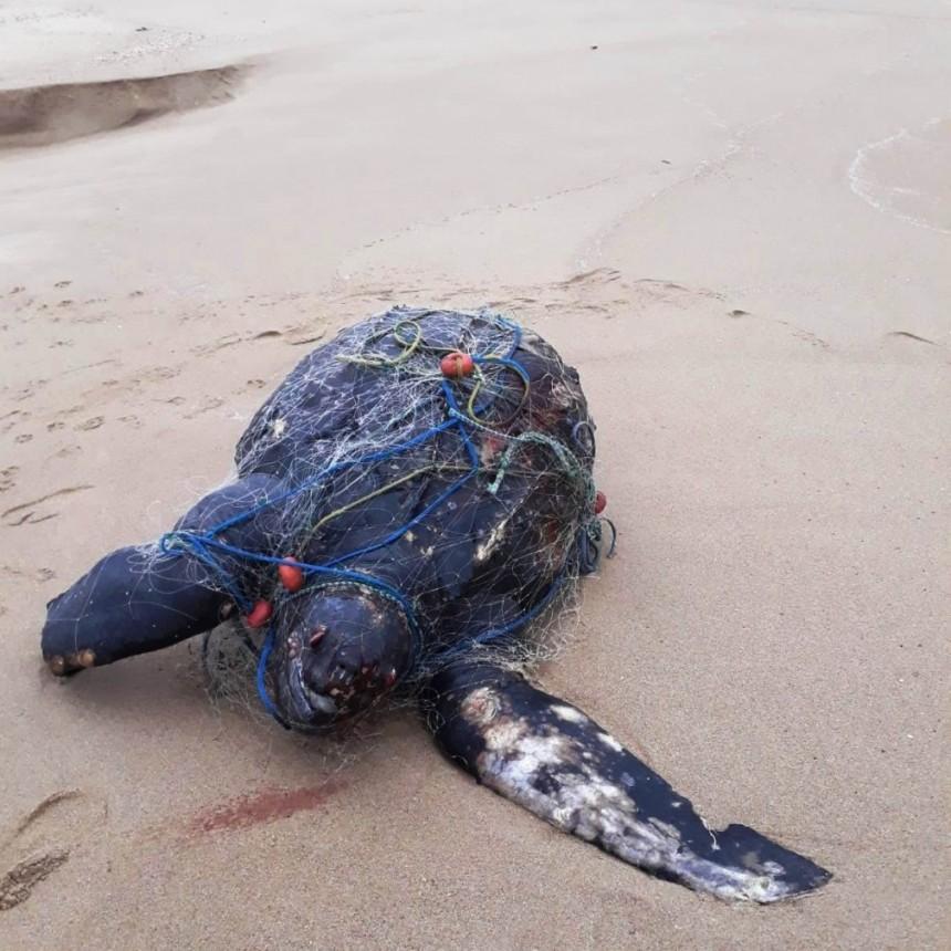 Apareció una tortuga siete quillas muerta, envuelta en una red de pesca