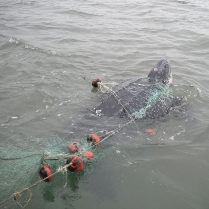 Cómo afectan las redes fantasma a la vida marina