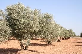 Continúan inscribiendo para la zafra de recolección de olivos