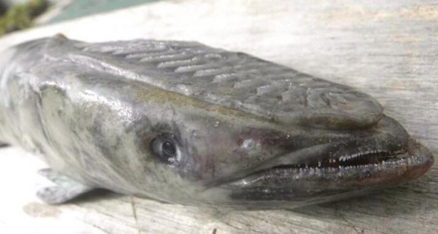 Subí que te llevo: remora, el singular pez que apareció en Playa La Aguada