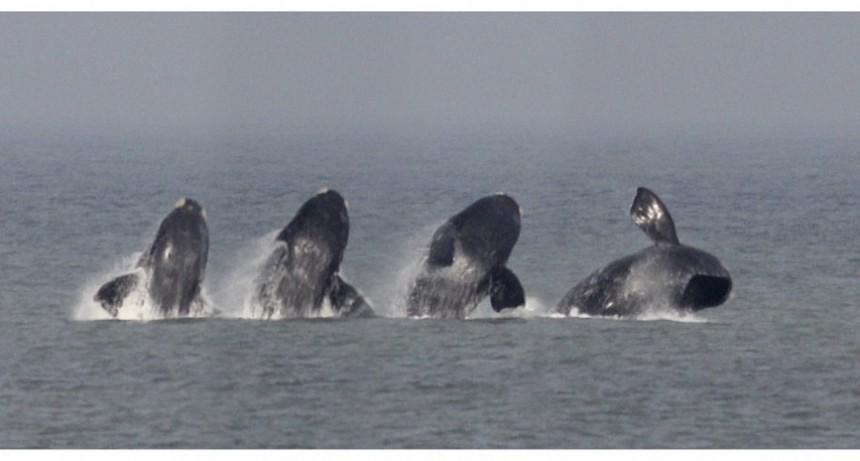 Anticipo de temporada: llegaron las ballenas a La Paloma