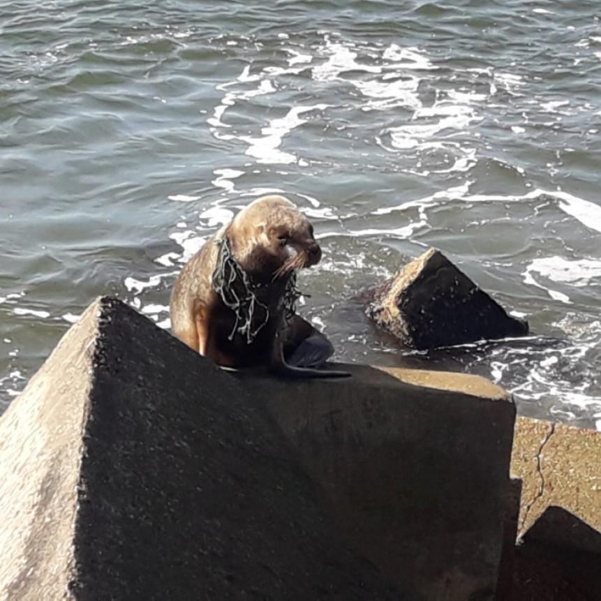 Apareció un lobo marino en el puerto con una red en el cuello