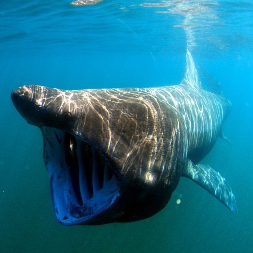 Conociendo al tiburón peregrino
