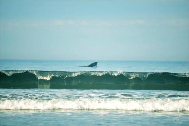 Investigarán las causas de los varamientos de cetáceos