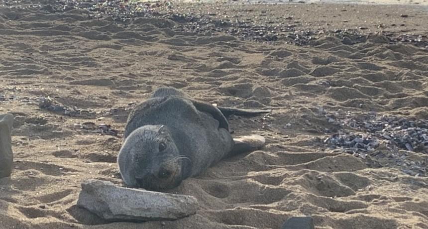 Registran en La Paloma una especie de lobo marino no habitual