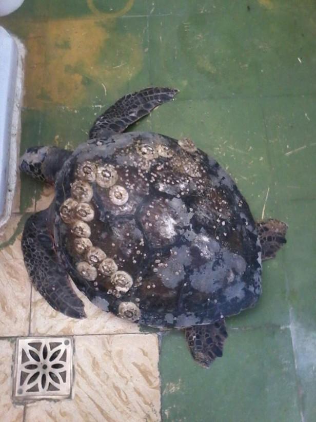Rescataron esta tarde una tortuga en La Paloma