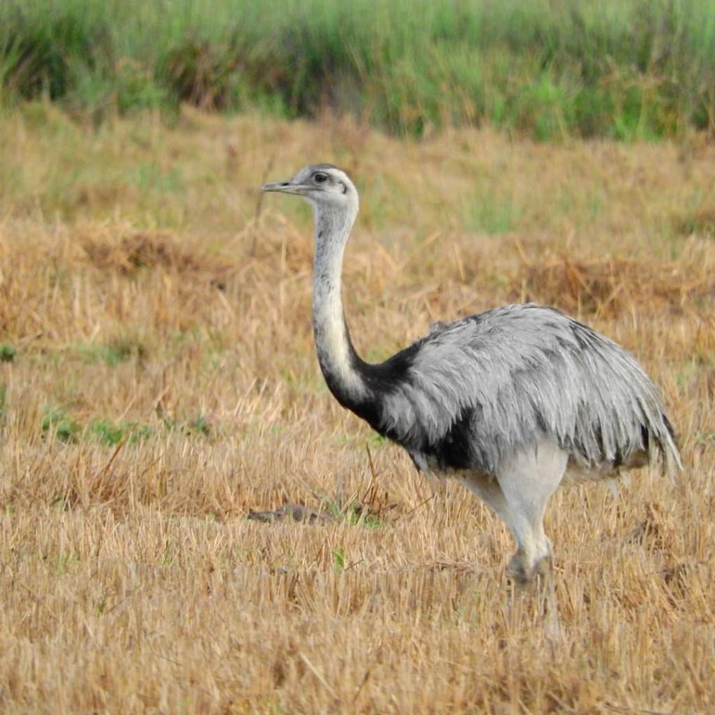 Uruguay y las especies prioritarias para conservación