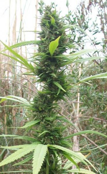 Liberan a tres cultivadores de cannabis presos en La Pedrera